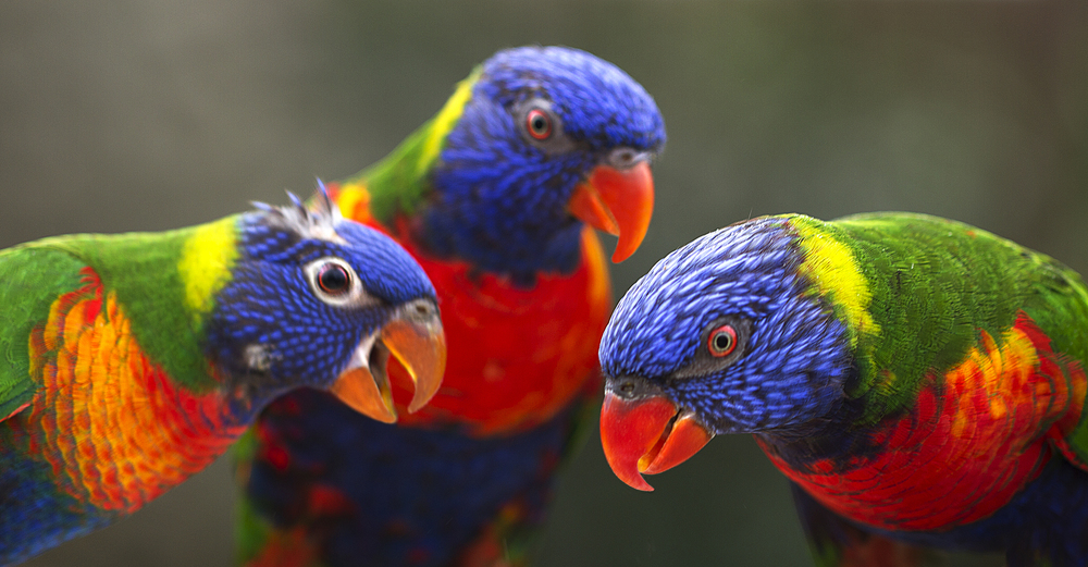 The three Musketeers Read about The rainbow lorikeet (Trichoglossus moluccanus) Comments