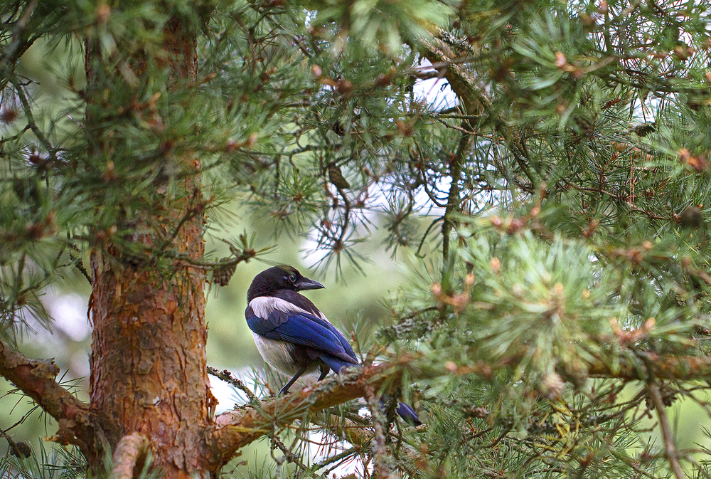 Life in the treetop Read about The common magpie Comments