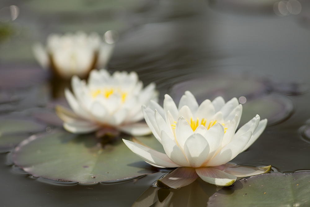 White water lilies Comments