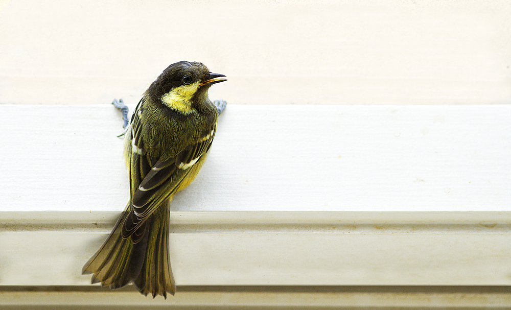 Glass is a hard thing to understand Read about The coal tit (Periparus ater) Comments