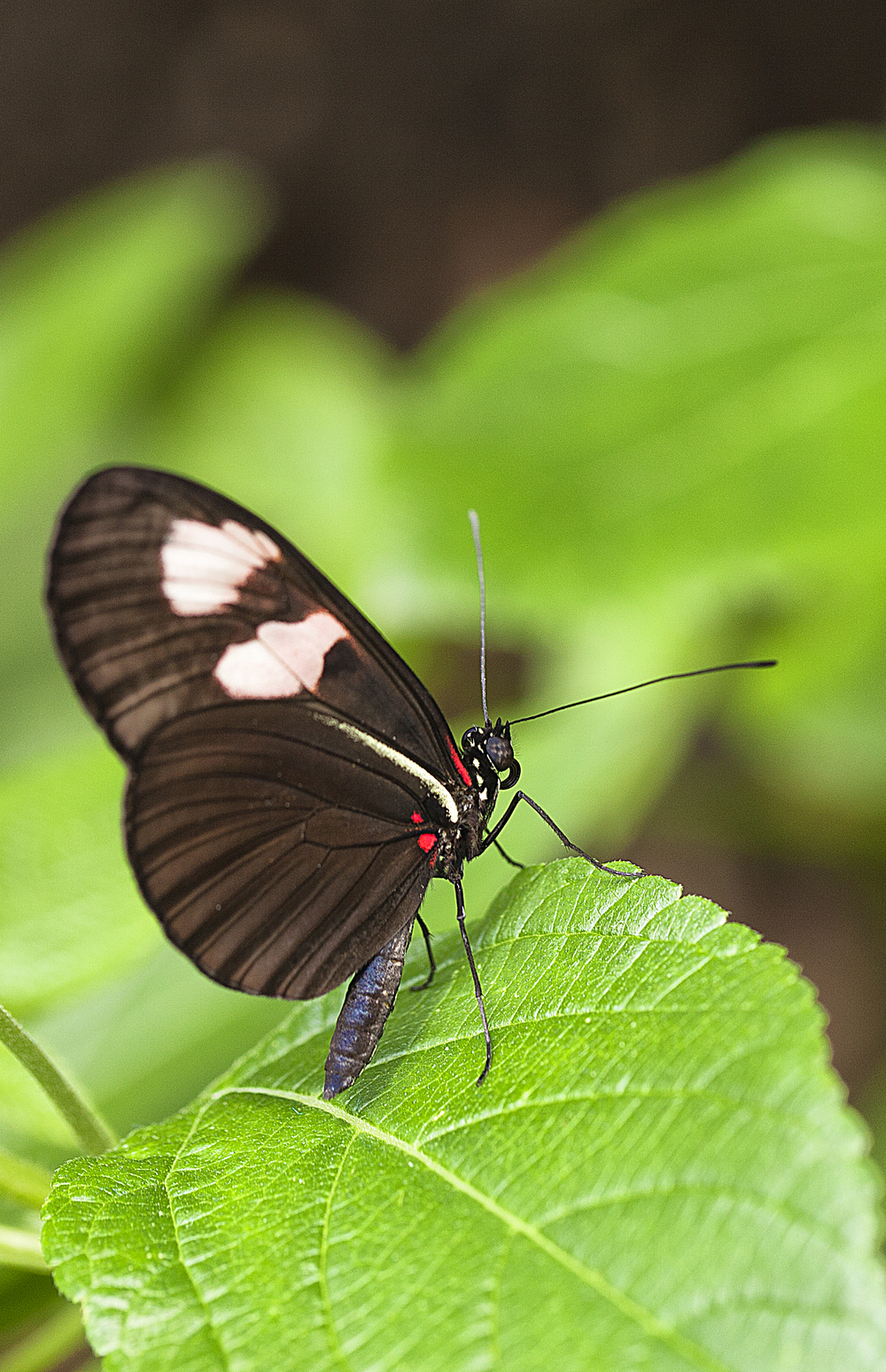 In a moment I'm gone Read about The Heliconius melpomene Comments