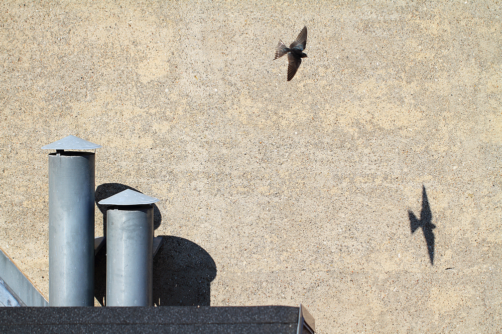 Outperformed by the shadow Read about The barn swallow Comments