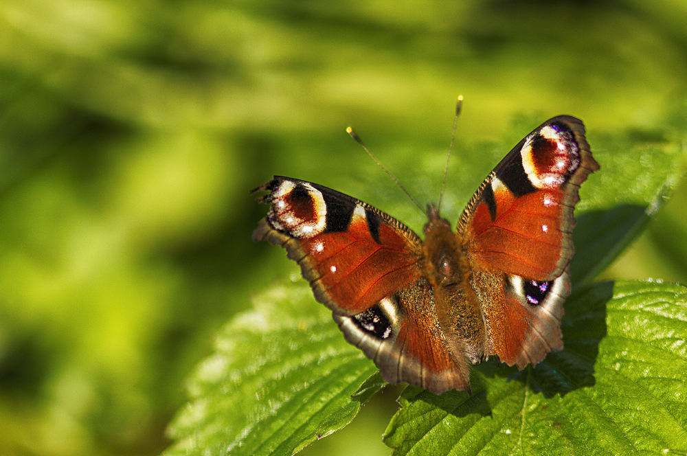 In the final afternoon sun Read about The European Peacock (Aglais io) Comments