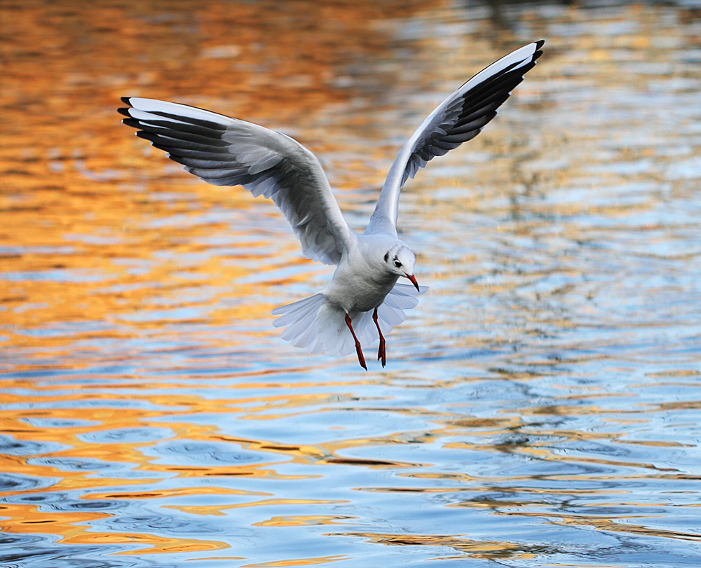 Fire gull Read about The Black-headed gull Comments
