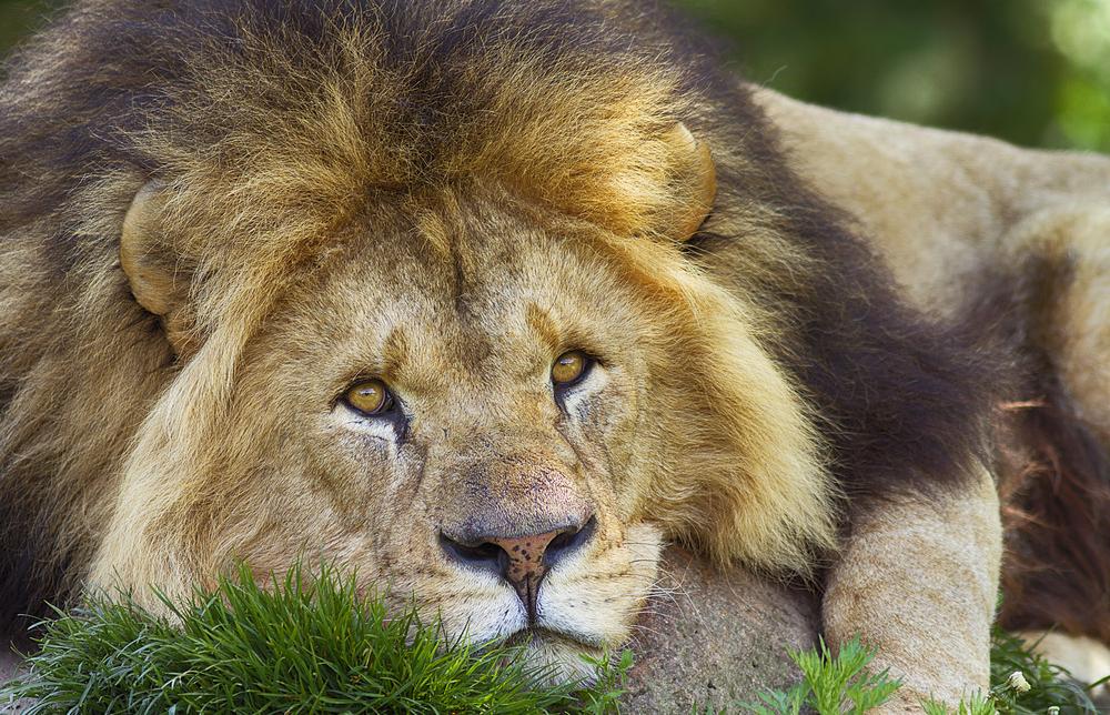 Alex Read about The lion (Panthera leo) Comments