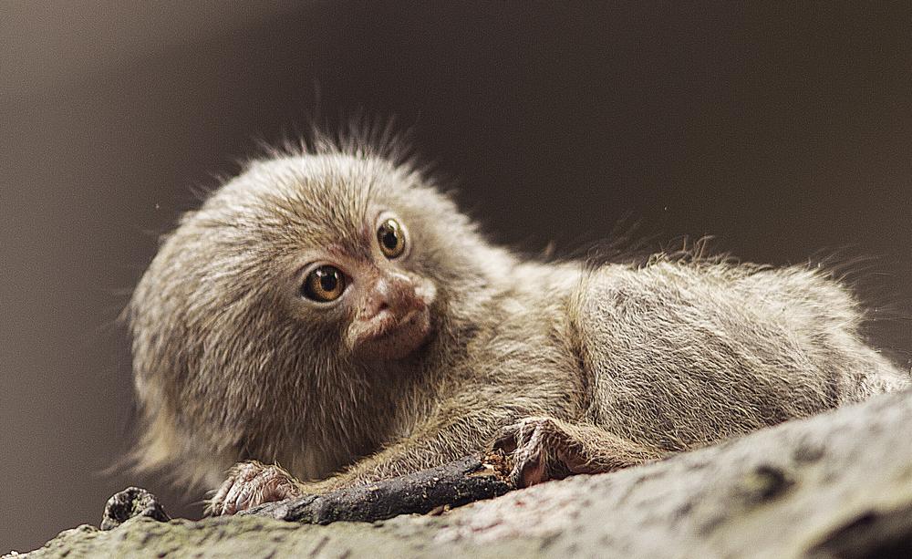 Pygmy marmoset Read about The pygmy marmoset (Cebuella pygmaea) Comments