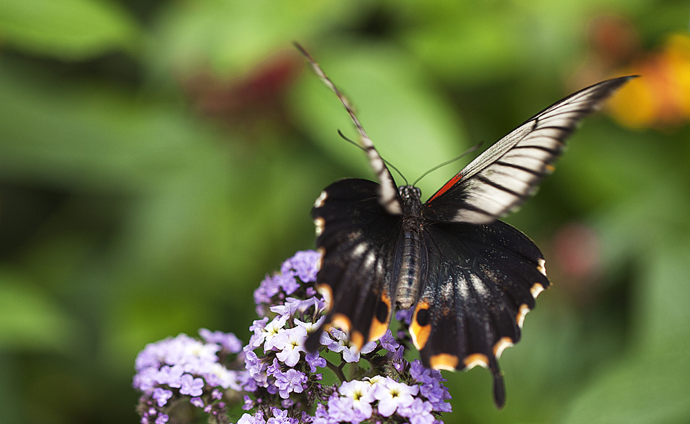 Busy summer time Read about The Great Yellow Mormon Comments