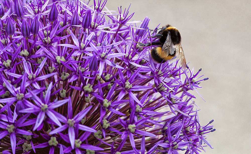 Juicy ball of purple Read about The bumblebee Comments