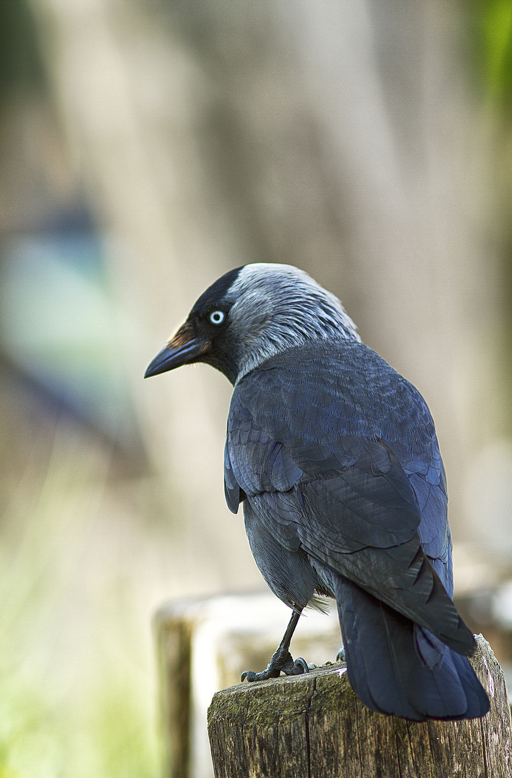 The opportunist at work Read about Western jackdaw Comments