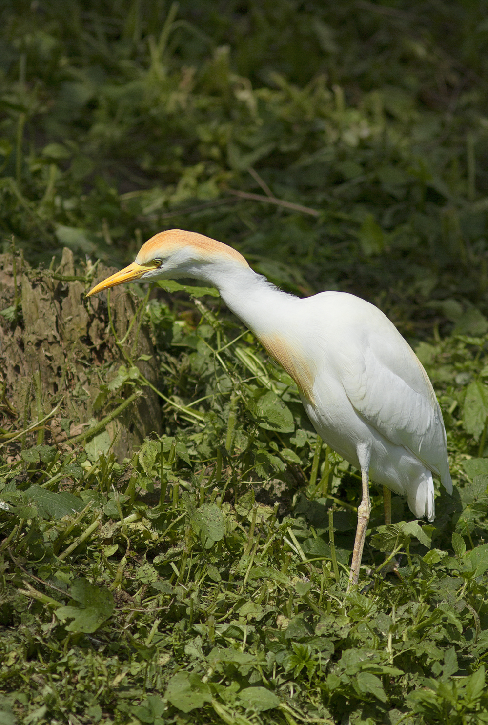 The Cattle Egret Read about The cattle egret (Bubulcus ibis) Comments