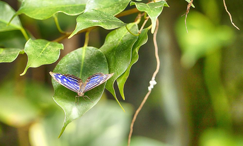 Myscelia cyaniris Read about The blue wave Comments