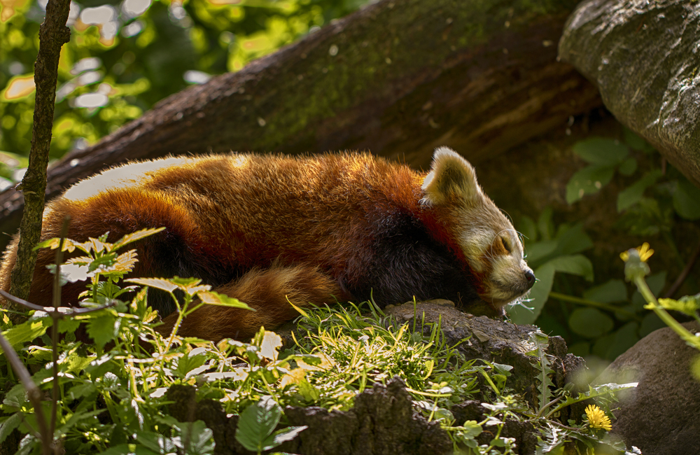 Time for a little nap Read about The red panda (Ailurus fulgens) Comments