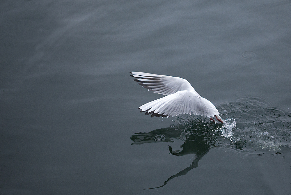 Up up and away Read about The Black-headed gull Comments