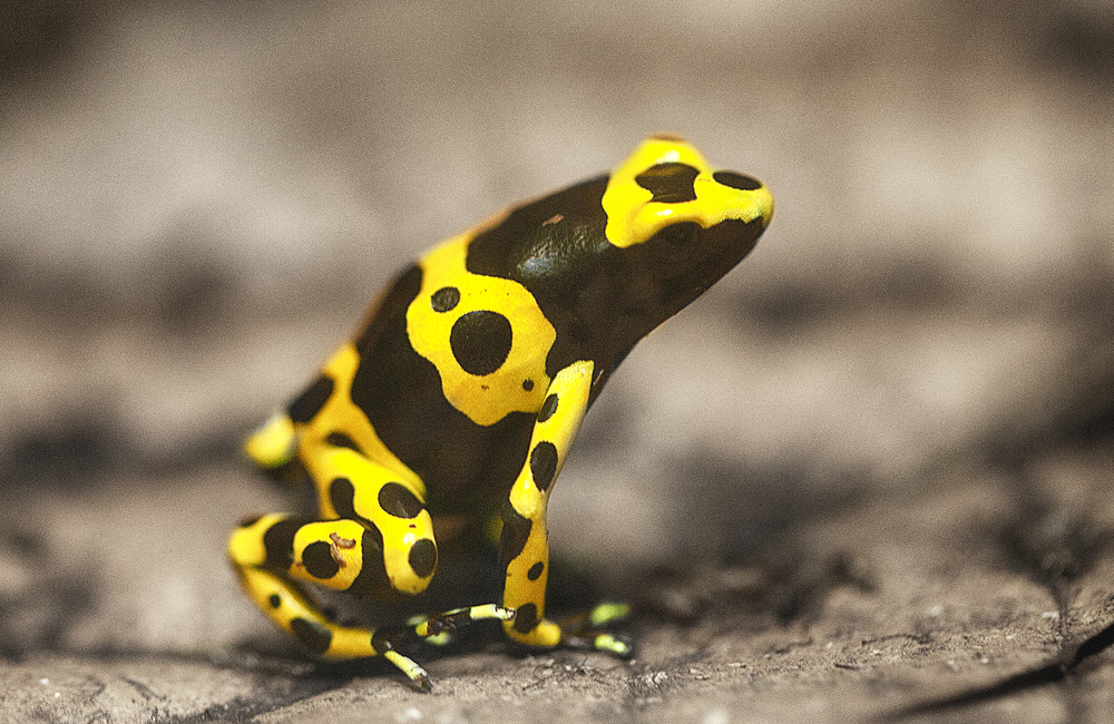 Eat me if you dare Read about The yellow-banded poison dart frog Comments