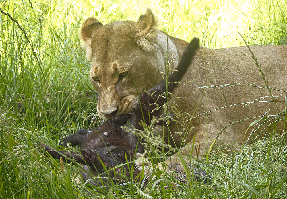 Not that I would criticize the kitten but I prefer my steak without fur Read about The lion (Panthera leo) Comments