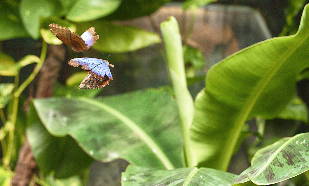 I will race you Read about Morpho butterfly Comments