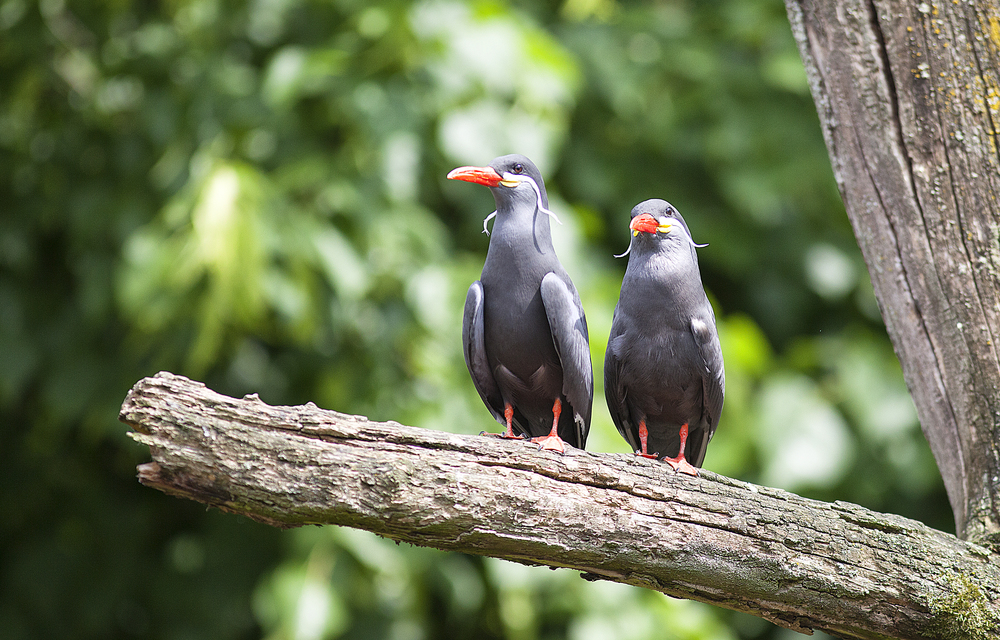 You and I Read about The Inca tern (Larosterna inca) Comments