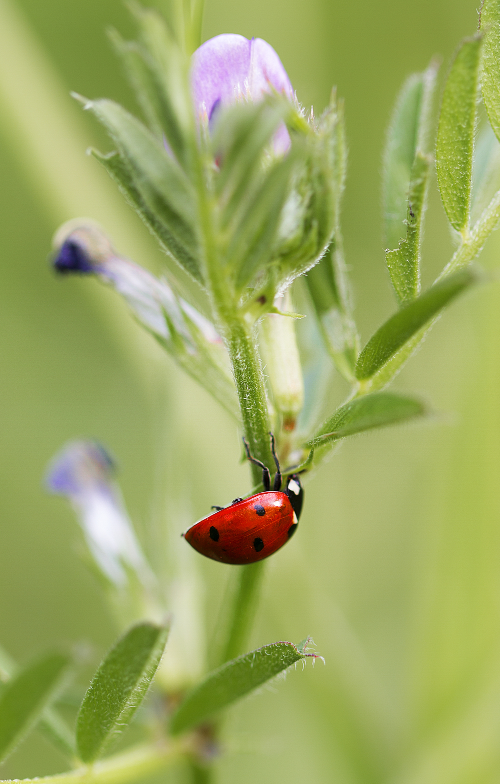 The plant's friend the aphids enemy Read about The Coccinellidae (/ˌkɒksɪˈnɛlɪdaɪ/) Comments
