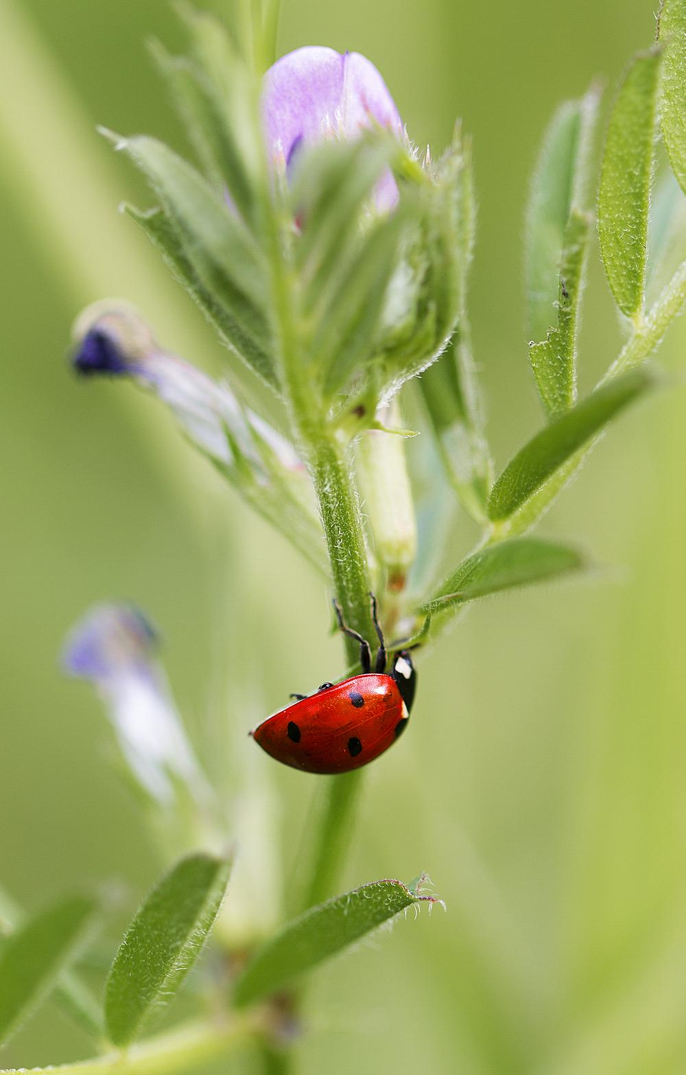 The plant's friend the aphids enemy Read about The Coccinellidae (/ˌkɒksɪˈnɛlɪdaɪ/) Comments
