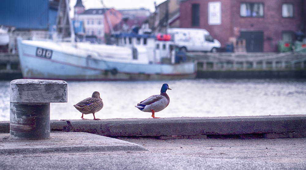 A duck's life Read about Svendborg Comments