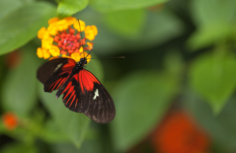 Presence Read about The Heliconius butterfly (Heliconius chanitonius) Comments