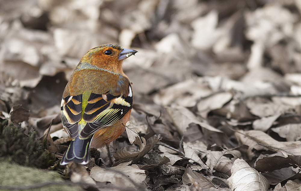 Chaffinch Comments