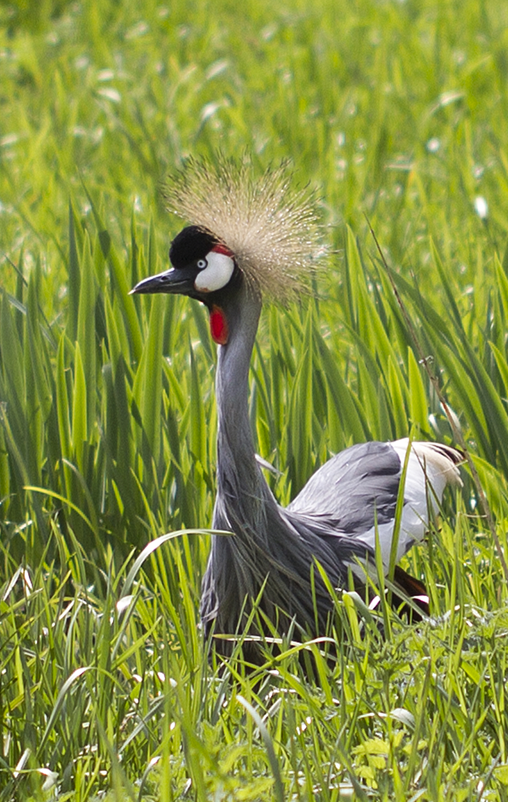 Stands out Read about The grey crowned crane (Balearica regulorum) Comments