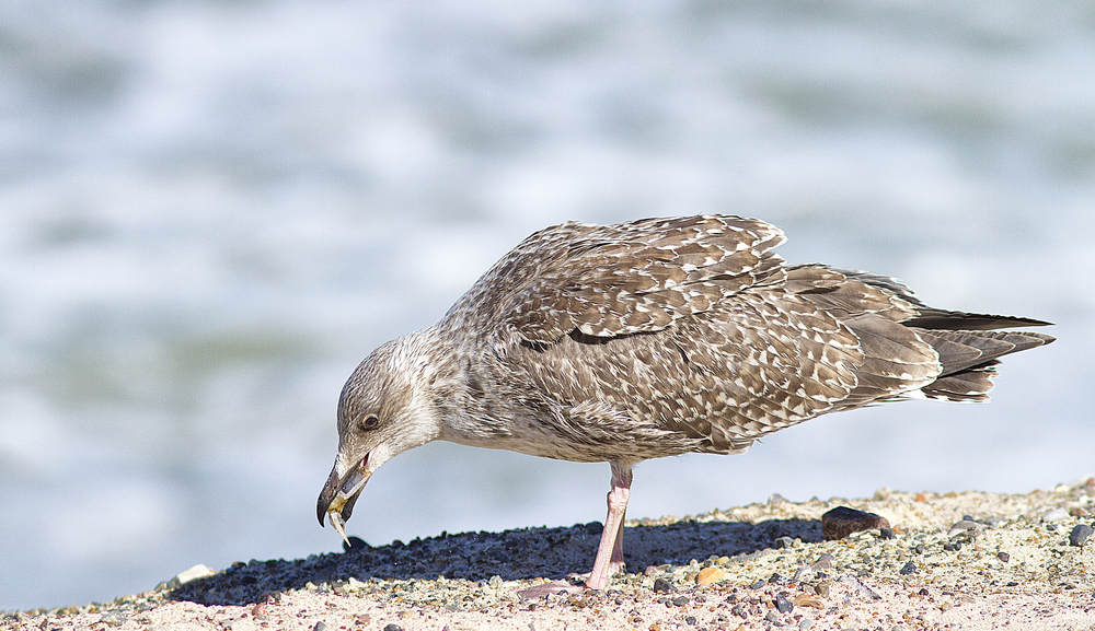 One must have something to eat Read about The European herring gull Comments