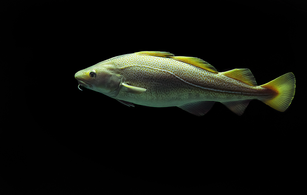 Cod (Gadus morhua) Comments