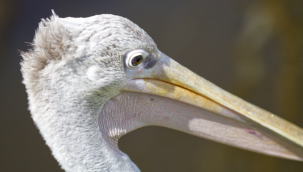 Close Read about The pink-backed pelican (Pelecanus rufescens) Comments