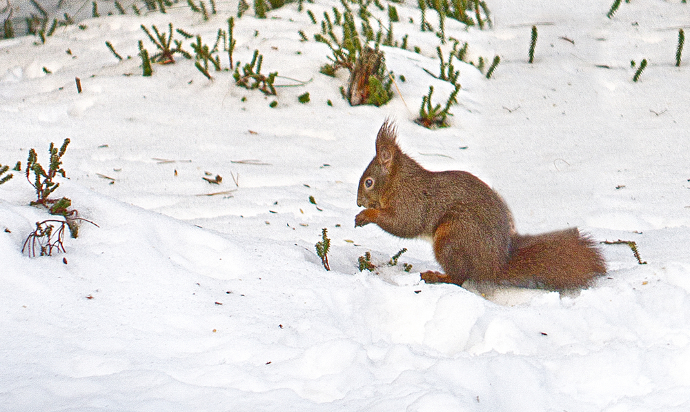 Cold times for the red squirrel Comments