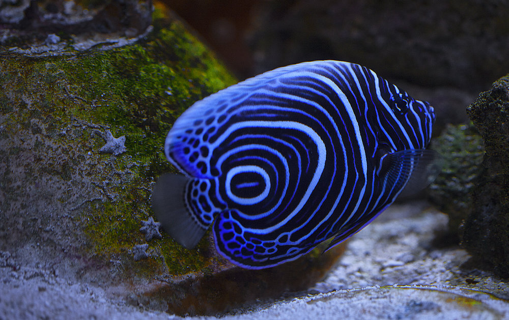 Juvenile Emperor Angelfish Comments
