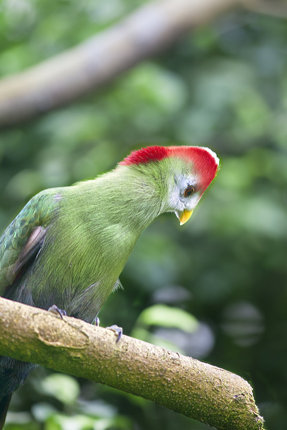 What happens down there Read about The red-crested turaco (Tauraco erythrolophus) Comments