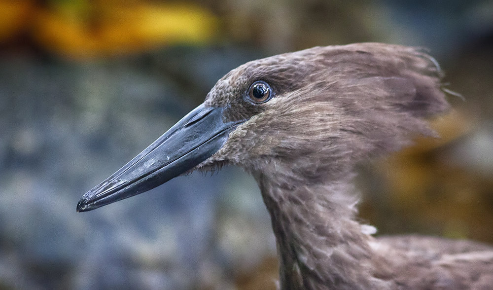 Intense Read about The hamerkop (Scopus umbretta) Comments