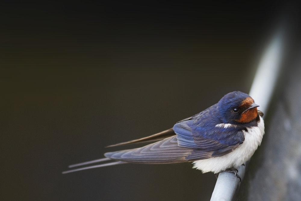 Was the picture good or should I fly over there again Read about The barn swallow Comments
