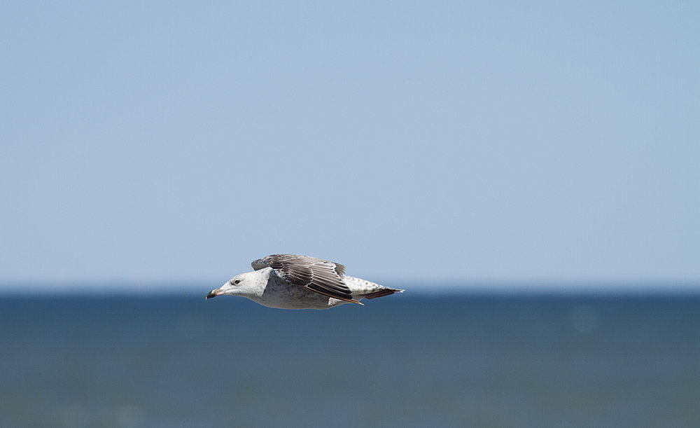 Cruising the horizon Read about The European herring gull Comments