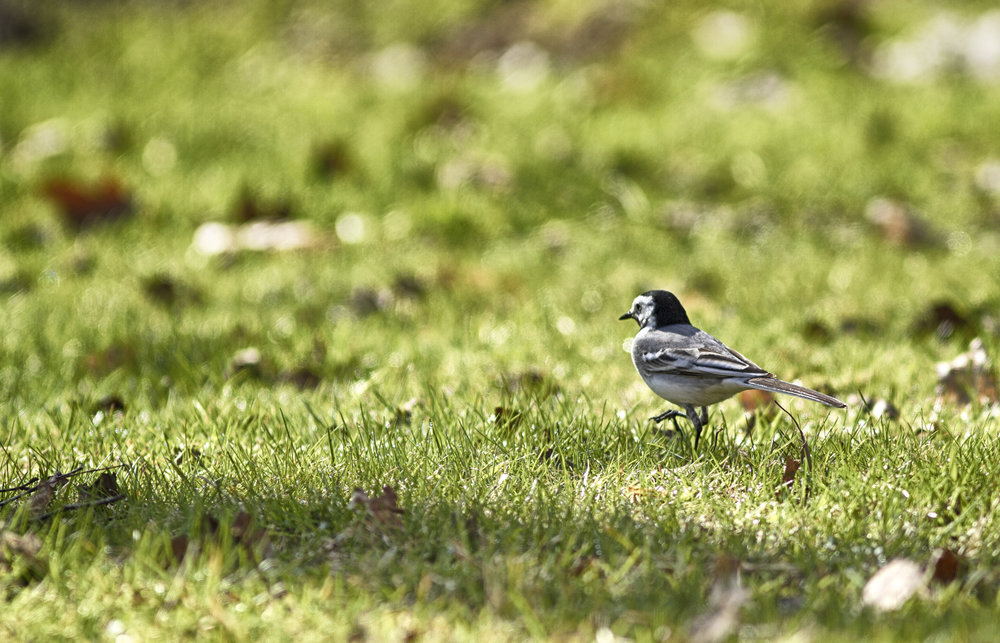 In a big world Read about White wagtail Comments