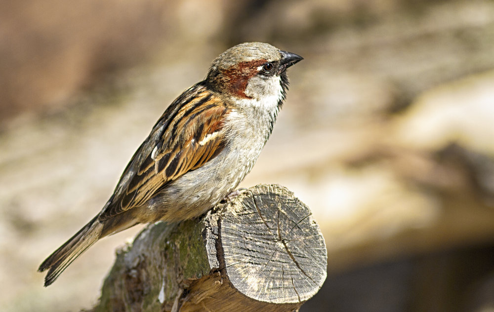 Listen and learn Read about The house sparrow Comments