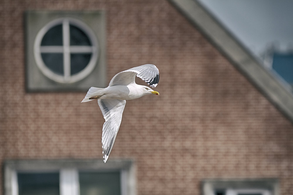 City slicker Read about The European herring gull Comments