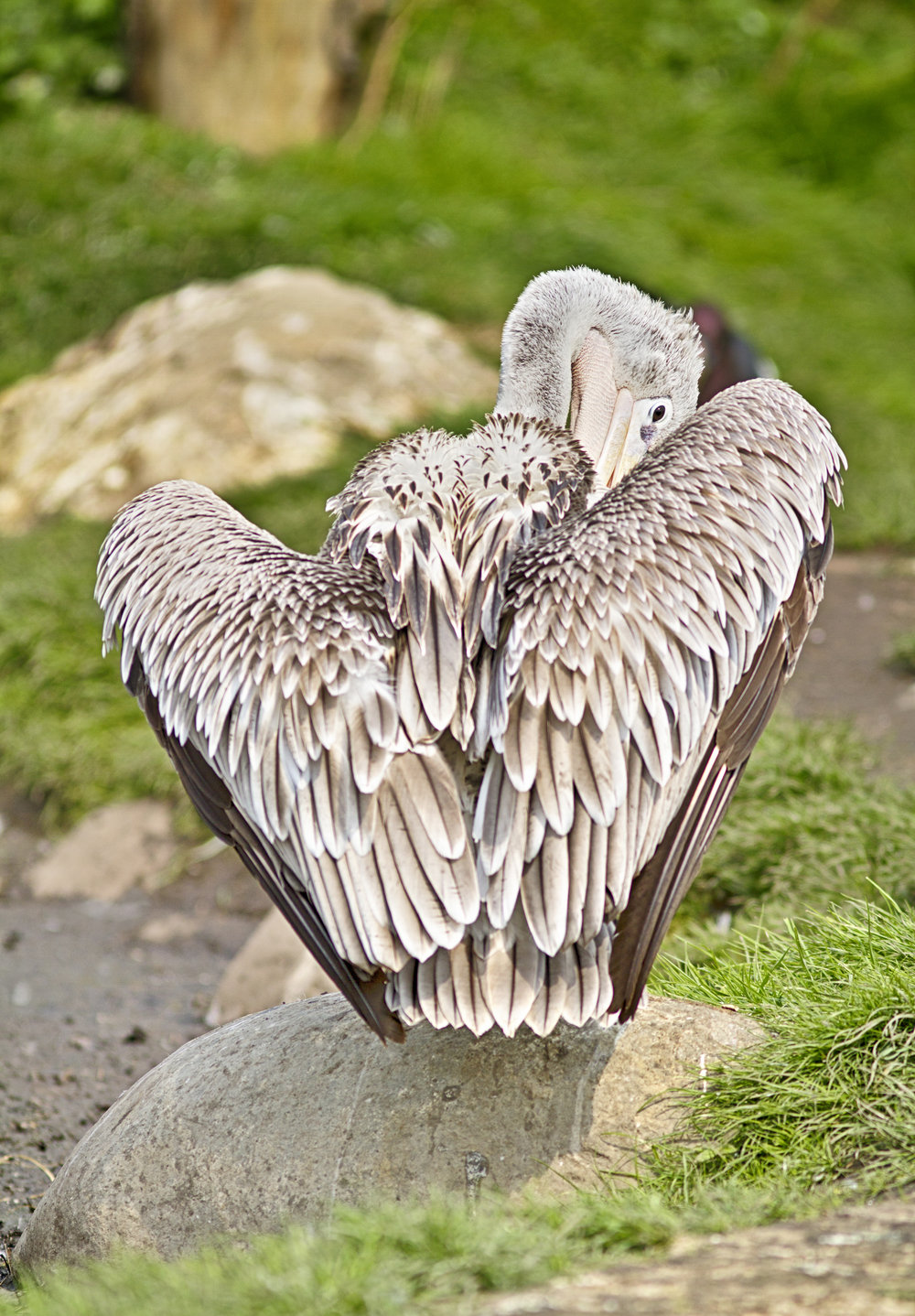 Keep your feathers neat Read about The pink-backed pelican (Pelecanus rufescens) Comments