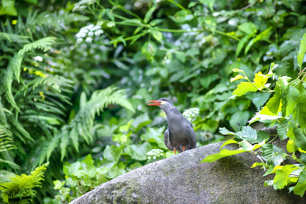 Calling out Read about The Inca tern (Larosterna inca) Comments