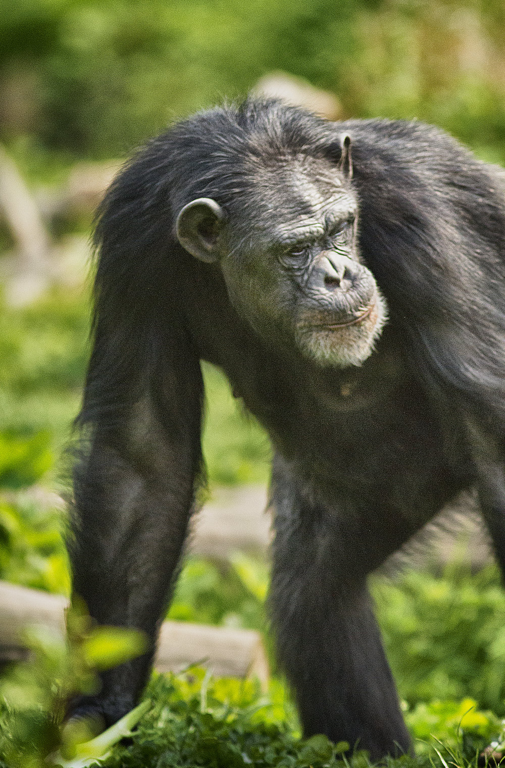 I had a thought Read about The Chimpanzees (sometimes called chimps) Comments