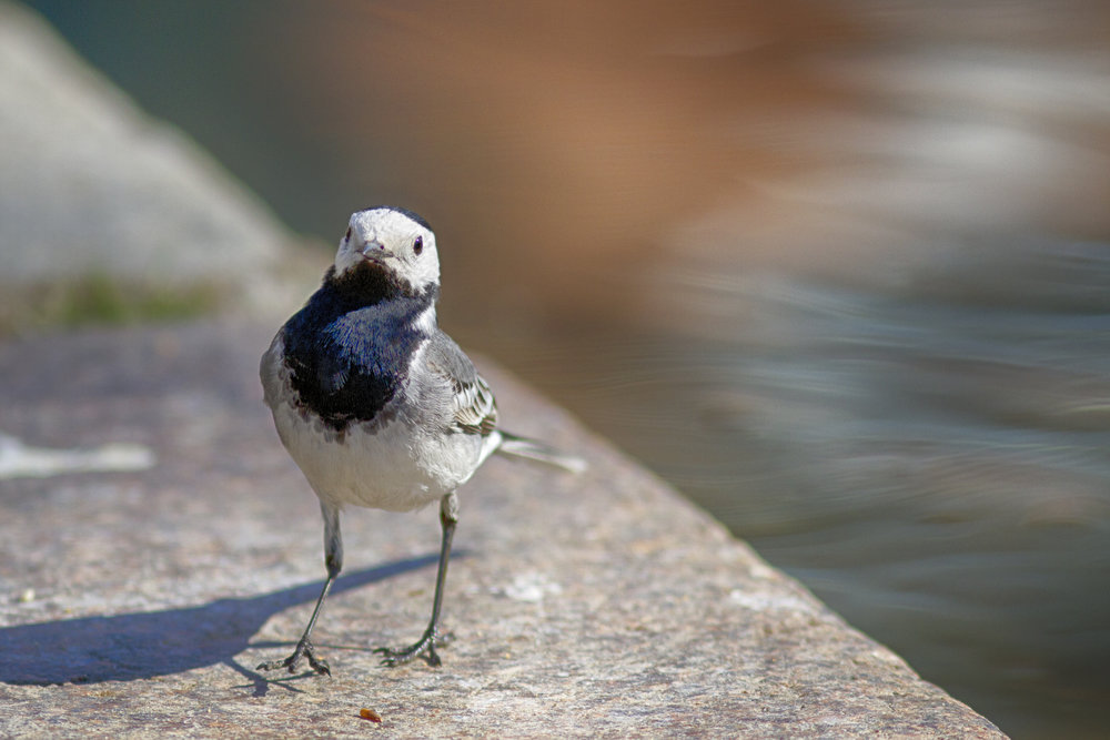 Contact Read about White wagtail Comments