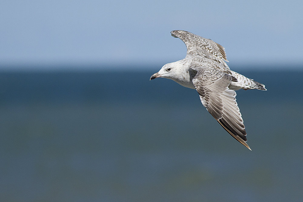 Sailing in the wind Read about The European herring gull Comments