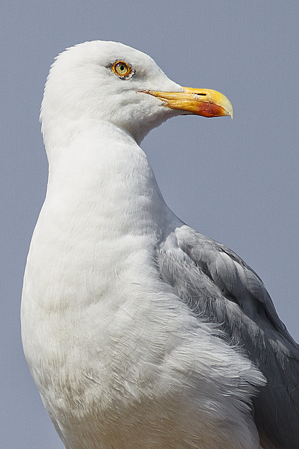 Observing Read about The European herring gull Comments