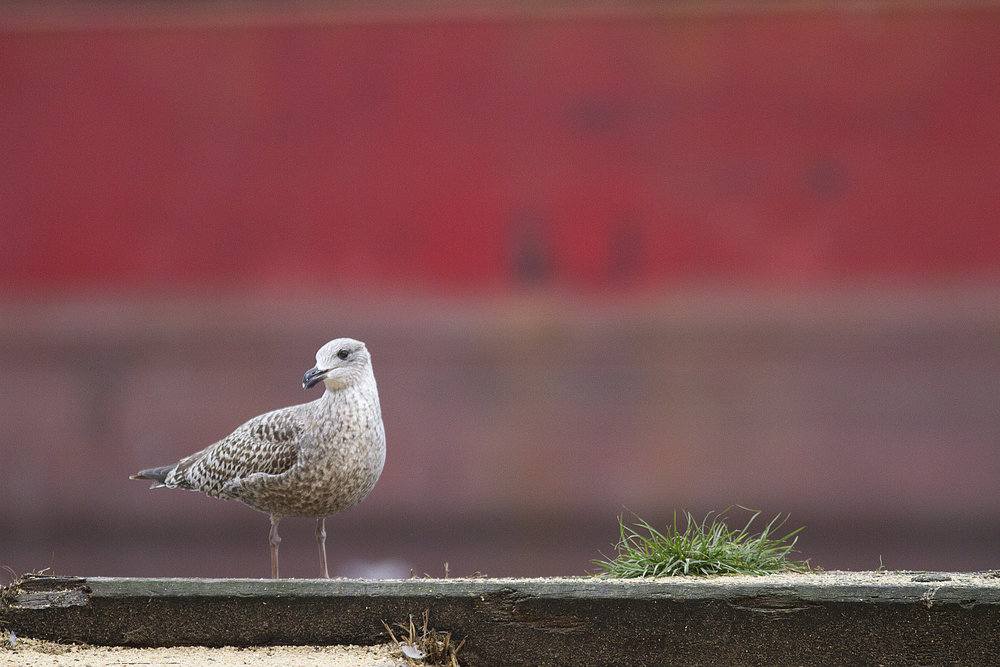 My first winter Read about The European herring gull Comments