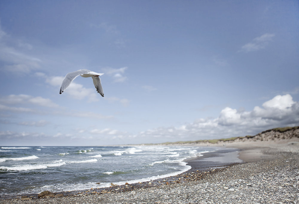 My home shore Read about The European herring gull Comments