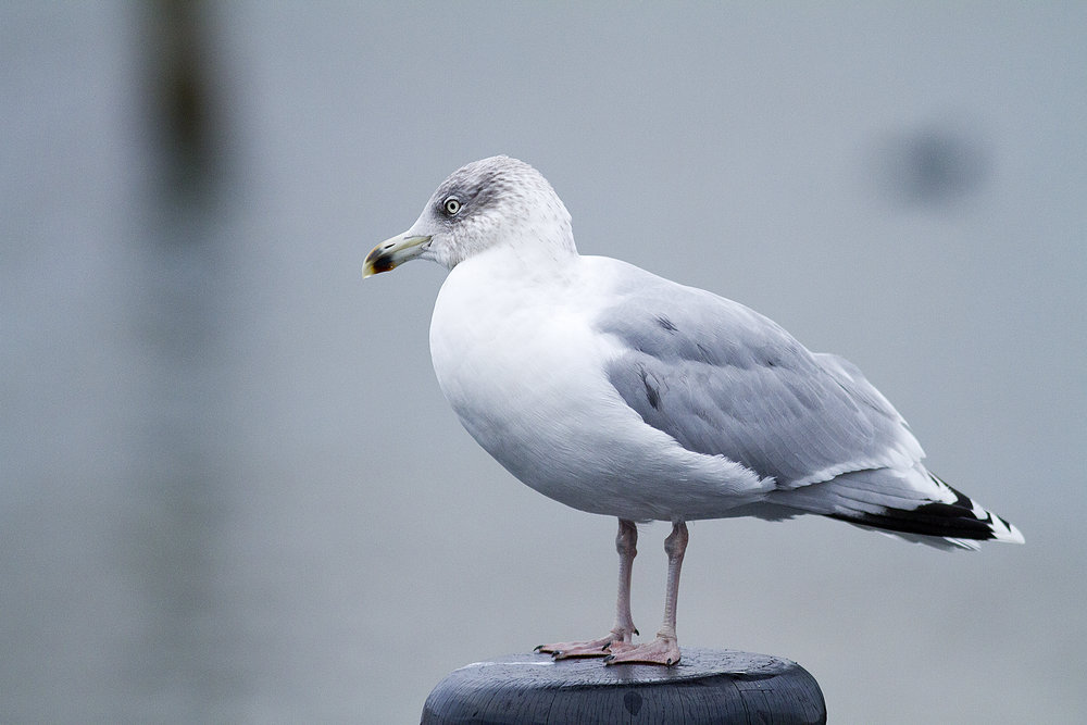 In my own thoughts Read about The European herring gull Comments