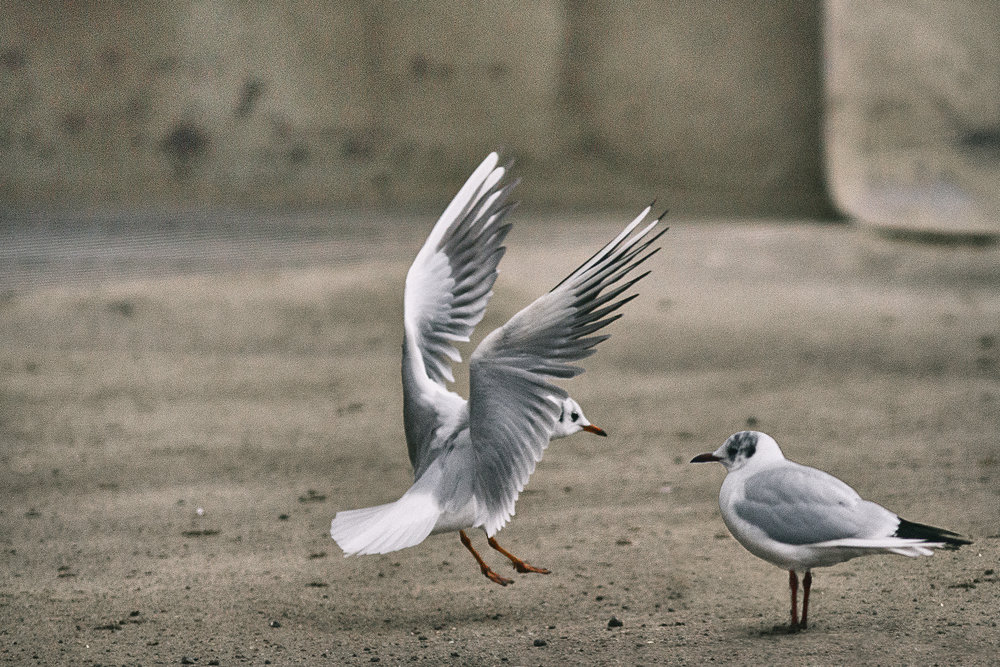Random meeting Read about The Black-headed gull Comments