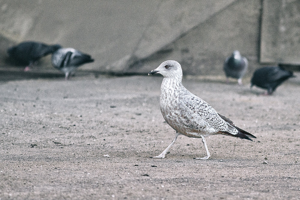 Places to go Read about The European herring gull Comments